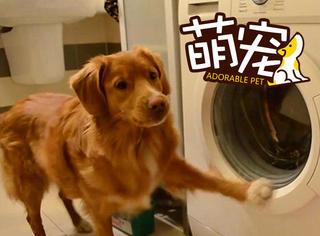 【萌宠】不敢相信,这只软萌大金毛竟然会洗衣服!
