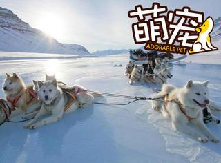 【萌宠】极地雪撬犬并不乖:主人让往东,它们偏往西!