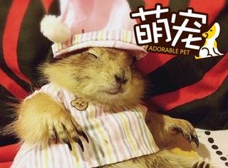 【萌宠】天啊!这只土拨鼠是从童话里走出的小公举吗?