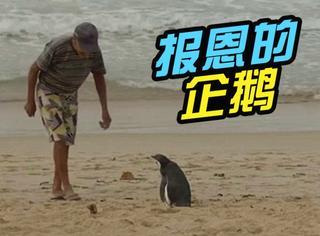 小企鹅每年游5000英里,探望救过它的老爷爷