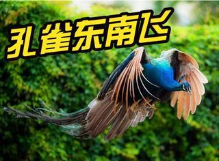 当高冷的孔雀选择飞行,这不就是传说中的凤凰!