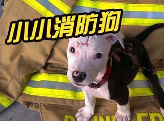 """这只汪曾被大火烧伤,但却逆袭成""""小小消防狗""""!"""