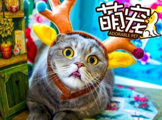 【萌宠】这只折儿猫一直吐舌头,就是闭不上嘴!