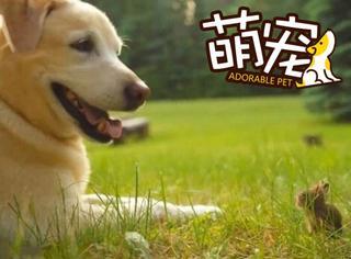 【萌宠】这家后院有只温柔的巨犬和迷你的兔宝宝!