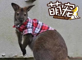 【萌宠】袋鼠当起宠物来,像猫又像狗!