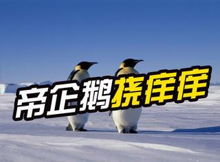 帝企鹅独特的挠痒痒的方式,萌化了摄影师!
