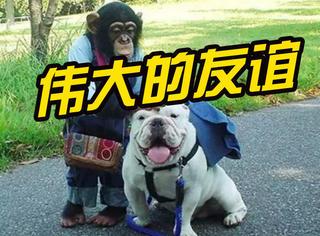 黑猩猩和斗牛犬组成了好朋友,可爱的友谊跨越了时间和物种!
