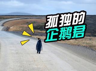 帝企鹅君的归乡之路:落单的它跑到公路搭车回家,画风萌得孤单