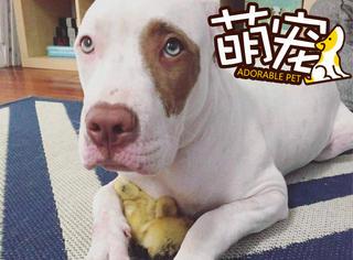 【萌宠】这两只搜救犬爱上了两只小黄鸭!