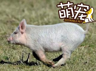 【萌宠】英国一只小猪离家出走,强行拱进了羊群中!