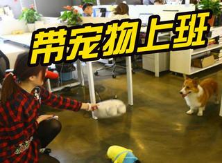上海一公司可以带宠物上班,整个办公室的气氛全变了!