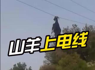 一只蠢羊蹦的太高,结果挂电线上了......
