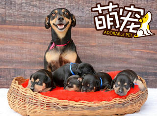 【萌宠】巴西年轻腊肠妈妈产下5个可爱宝宝,每天都要晒一番!