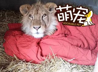 【萌宠】想不到你是这样的狮子王!超大只的它睡觉离不开毛毯