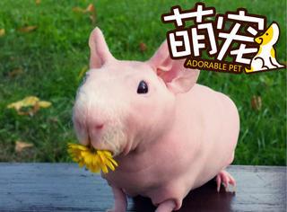 【萌宠】这只豚鼠爱上了和食物合影,成为了一名食物模特!
