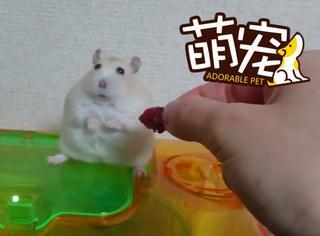 【萌宠】一只任性的仓鼠,被主人调戏后果断反调戏
