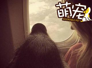 """【萌宠】美国一美女抱着""""二师兄""""坐飞机!"""