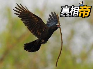 【真相帝】别再误解乌鸦了,它们可是鸟界的高智商小霸王!