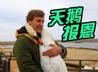 英国主持人救了一只天鹅,几年后重逢快被感动哭了
