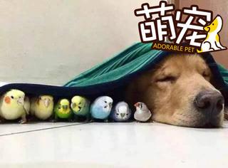 【萌宠】1只金毛、1只仓鼠、8只鹦鹉在主人家组成了一个宠物天团!