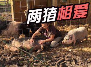动物收容所里的公猪去世后,母猪竟然一直守在了坟前
