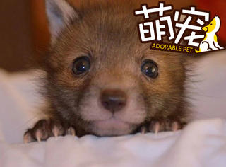 【萌宠】这只被营救的小狐狸,分分钟用眼神萌翻你!