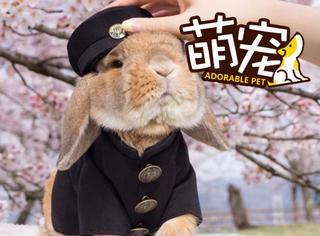 【萌宠】这只兔子先生樱花树下演绎制服诱惑,堪称萌宠界撩妹圣手
