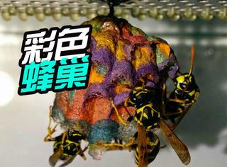 几只黄蜂吃下彩色纸屑后竟筑出一个色彩斑斓的巢!