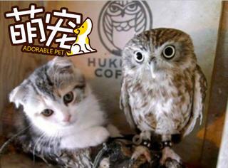 【萌宠】小猫和猫头鹰组成了一对CP,它们负责为主人吸引客人!