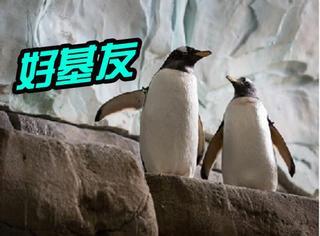 这一对企鹅界的好基友终于在一起了