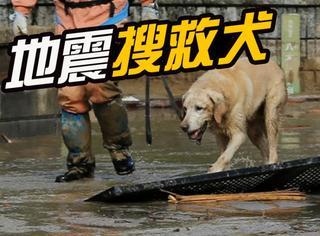 日本地震现场的小英雄:就算会受伤会累也依然不放弃搜救