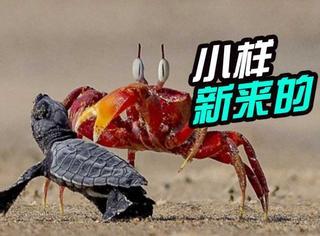 印度沙蟹欺负小海龟走红,网友:只因对方是新手!