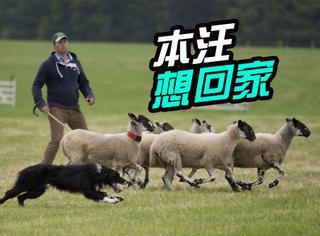 最思乡牧羊犬,12天翻越半个英国只为回家见主人