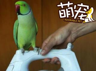 这是一只男友力MAX的鹦鹉,会做家务、会索吻还会撩妹!