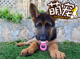 【萌宠】这只德国牧羊犬认为自己是人类的宝宝!