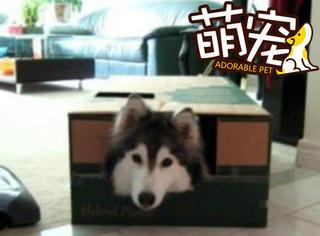 【萌宠】这只从猫窝里救出的阿拉斯加,带回家越养越奇怪!