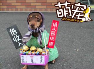 【萌宠】这是一只会打扮还会帮阿婆卖菜的汪星人!