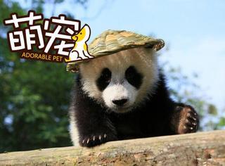 【萌宠】 当熊猫戴上草帽,简直就是阿宝