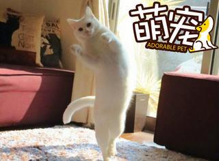 【萌宠】别人家的猫不仅长的白,还会跳芭蕾舞!