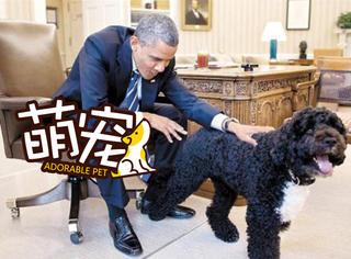【萌宠】在美国第一狗的面前,奥巴马也要铲屎