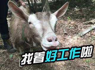 纽约公园花1万5千美元雇了8只羊,工作除了吃还是吃