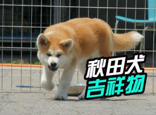 纳尼?秋田犬即将担负拯救日本旅游业重任