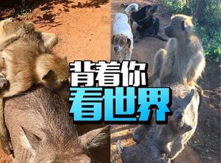 非洲疣猪背着狒狒看世界:肩膀是你的背也是你的!