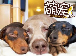 【萌宠】这三只汪睡在一起时幸福感爆棚!