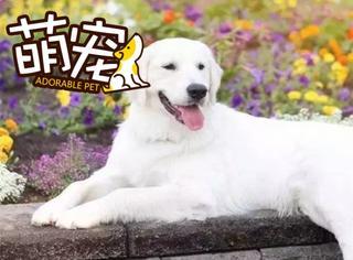 【萌宠】这只白色大金毛是个不折不扣的汪界暖男
