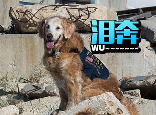 911幸存的最后一只搜救犬,这周一被执行了安乐死
