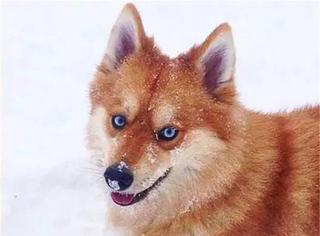 美国费城一只酷似狐狸的狗狗爆红网络
