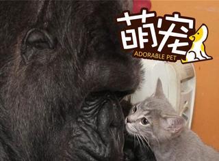 【萌宠】大猩猩44岁生日收到神秘礼物,它用手语表达了感恩!