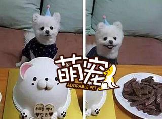 【萌宠】这只白色博美不爱蛋糕只爱肉