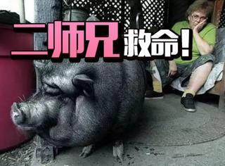完爆汪星人,这只大黑猪救了主人一命